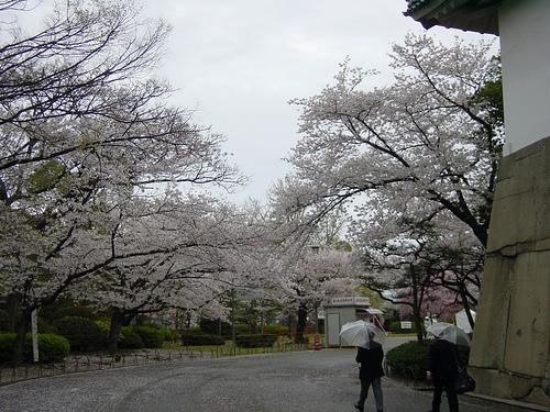 La fioritura dei ciliegi nel parco del Castello di Osaka