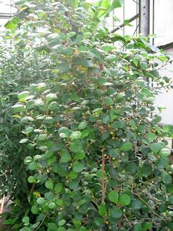 La pianta dei chiodi di garofano
