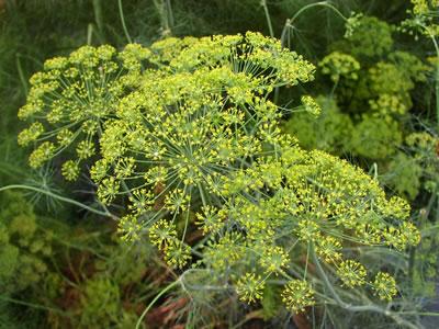 La pianta dell'aneto